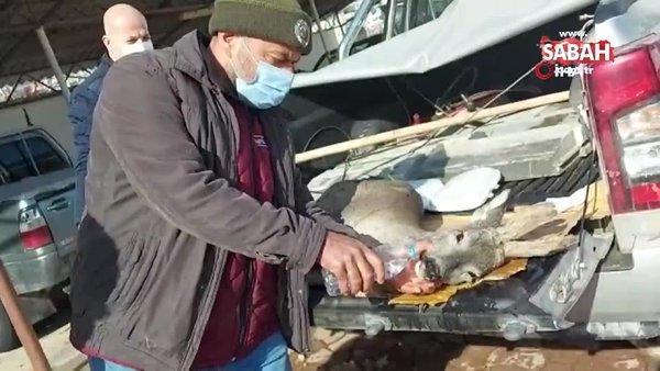 Kastamonu'da köpeklerin saldırdığı karaca tedavi altına alındı   Video