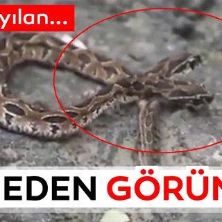 Dünyayı şoke etti! Çift başlı yılan ortaya çıktı... Sosyal medyada son dakika olarak paylaşıldı