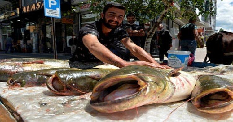 1 metreyi aşan yayın balıkları ilgi gördü!