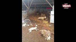 Düzce'de kurtlar 13 koyunu parçalayarak öldürdü