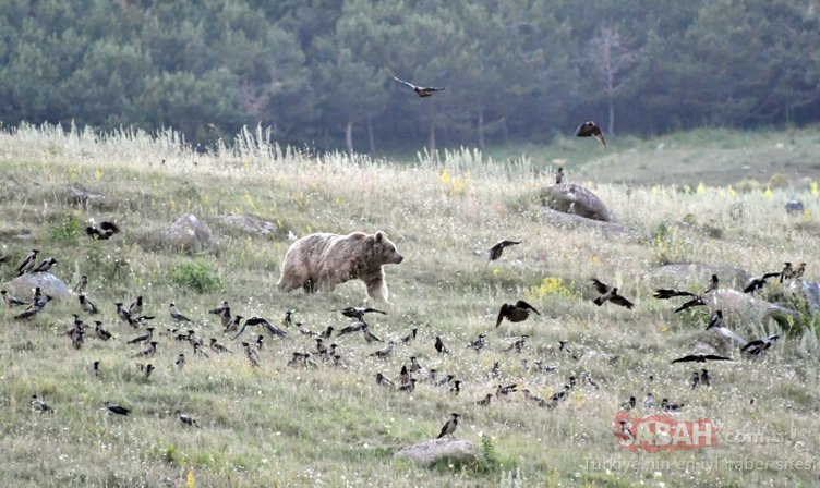 Kars'ta boz ayıların yiyecek arayışı böyle görüntülendi!