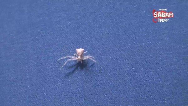 İnsan yüzlü örümcek Türkiye'de 7. kez ortaya çıktı   Video