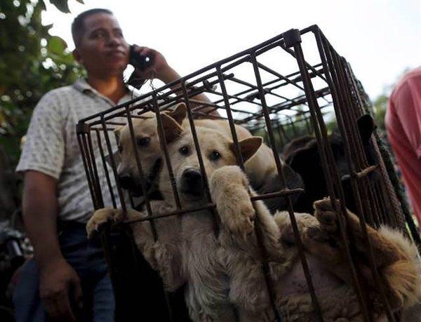Tüm tepkilere rağmen 'köpek yeme festivali' başladı