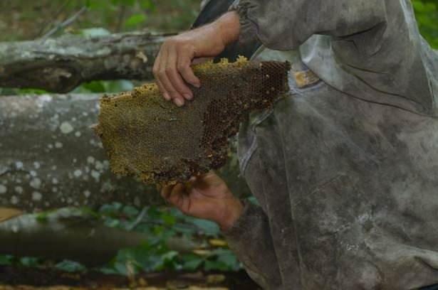 Yaban arıları yapıyor, onlar hasat ediyor
