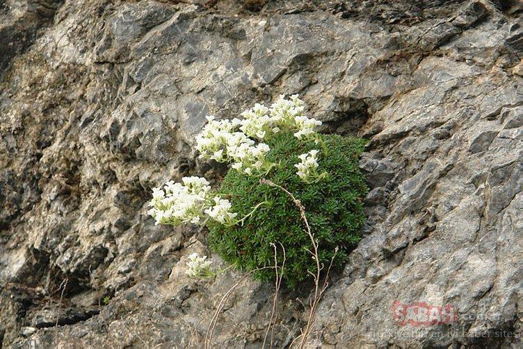 Cilo Dağları'nda yeni bir bitki türü keşfedildi