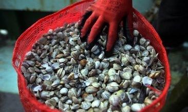 Kaçak avlanan 2 ton kum midyesi ele geçirildi