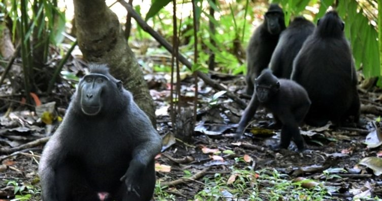 Endonezya'da maymun istilasıyla asker mücadele edecek