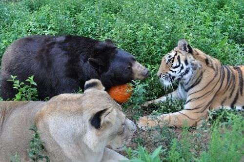 Aslan, ayı ve kaplanın dostluğu