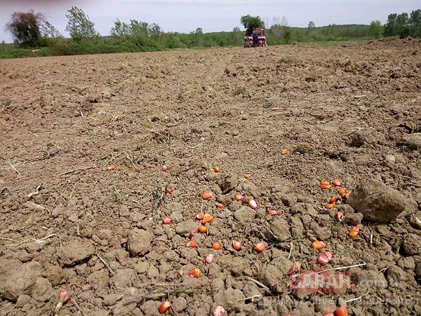 Yerli tohum için çok önemli adım! Ve ilk hasat gerçekleşti...