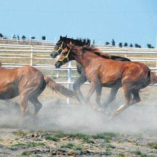 Milyonluk yarış atlarına tedbir