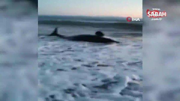 Rusya'da kıyıya vuran balina saatler süren operasyonla kurtarıldı   Video