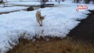 Sivas'ta ölen yavrusunu gömen köpeğin şaşırtan görüntüleri |Video