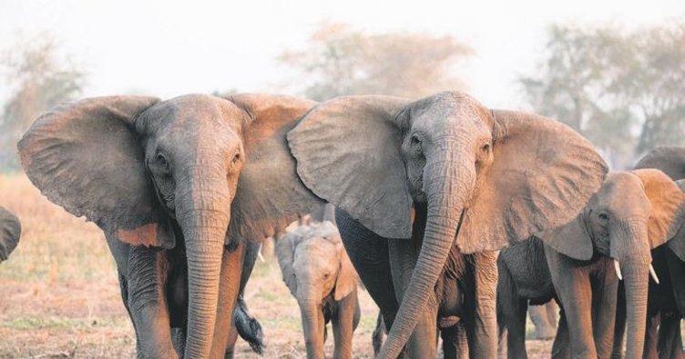 İç savaş fillerin doğasını değiştirdi