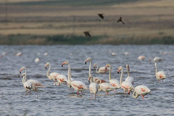 Van'da flamingoların görsel şöleni başladı