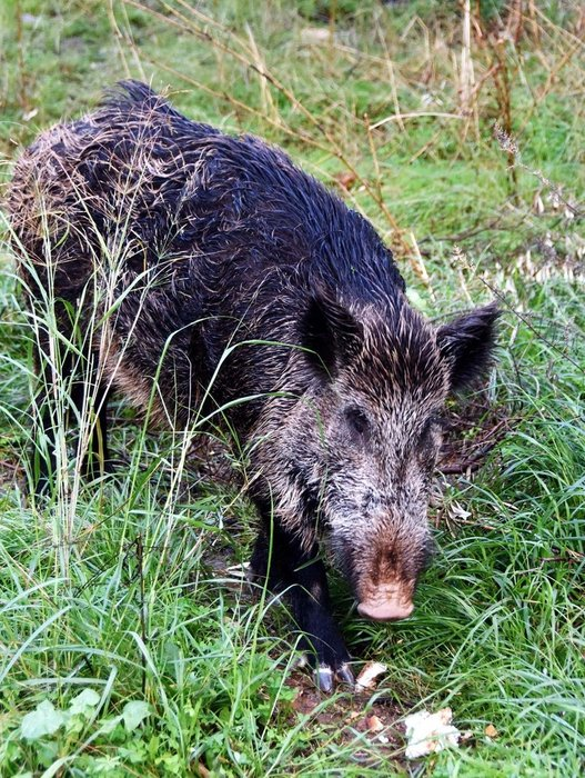 Yılbaşı gecesi eve gelen yaban domuzu, bir daha gitmedi