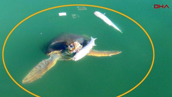 Antalya'da caretta carettaların balık ziyafeti kamerada | Video