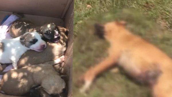 Antalya'da vahşet!  7 yavrusu olan anne köpeği tüfekle vurarak öldürdü | Video
