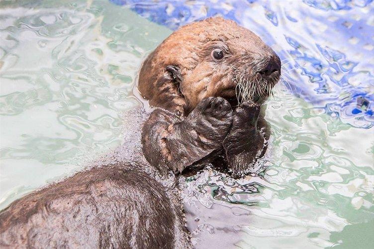 Biberonla besleniyor, yüzmeyi yeni öğreniyor