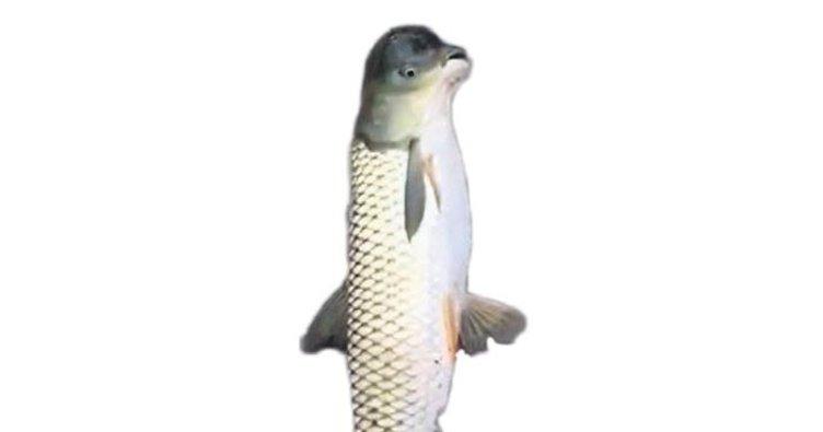 Güvercin başlı balık yakalandı