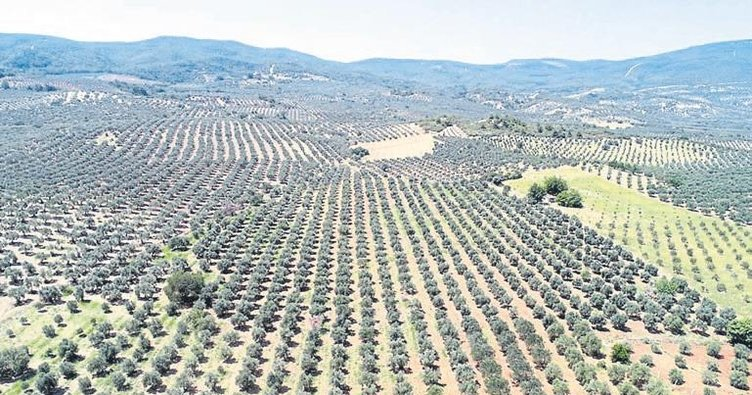 Zeytin üreticisinin rekolte sıkıntısı
