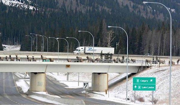 Bu köprüler her yıl binlerce hayvanı kurtarıyor