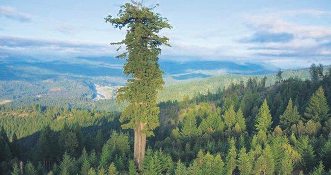 Dünyanın en büyük ağacı 115 metre