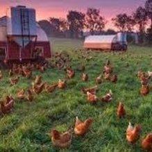 Fransa gezen tavuk yumurtacılığına geçecek