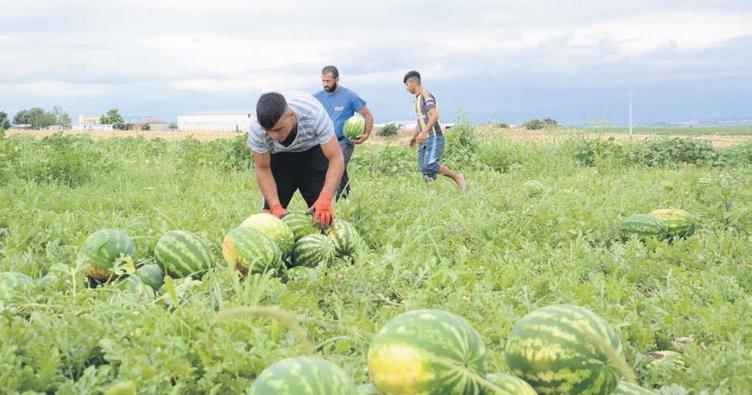Karacabey'de karpuz hasadı başladı