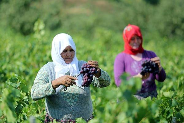 Şarköy üzümünün lezzet yolculuğu başladı