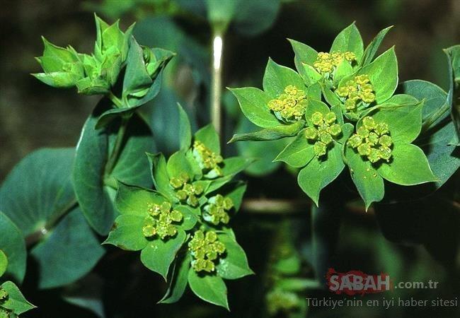 Meyan kökünden, Çin melek otuna kadar faydası saymakla bitmeyen 10 şifalı bitki...