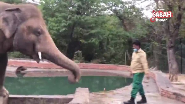Dünyanın en yalnız fili Kamboçya'daki fil barınağına götürülüyor | Video