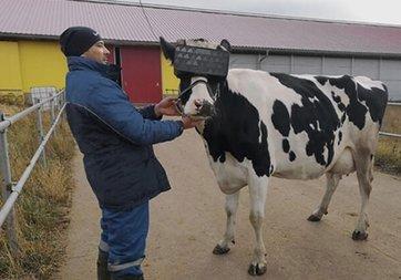 Süt kalitesini artırmak için ineklere sanal gerçeklik gözlükleri taktılar