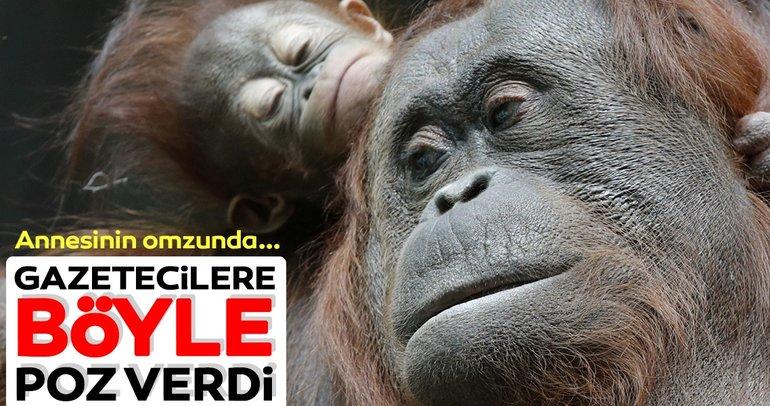 Annesinin üçüncü yavrusu orangutan Java, gazetecilere böyle poz verdi