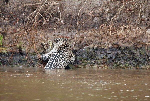Jaguar böyle avladı