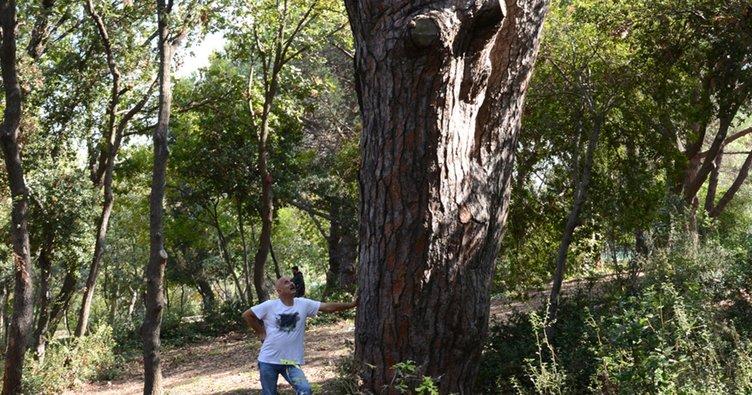 İstanbul'un en yaşlı ağaçları tehlike altında!
