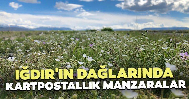 Iğdır'ın dağlarında açan çiçekler kartpostallık manzaralar sundu
