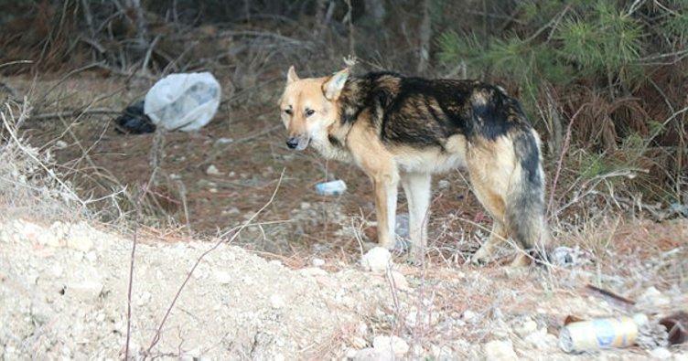 Köye bırakılan onlarca köpek vatandaşların korkulu rüyası oldu
