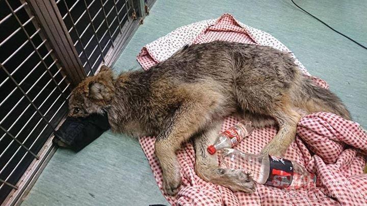 Donmuş gölden kurtardıkları köpek kurt çıktı