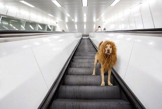 Büyük şehir aslanı