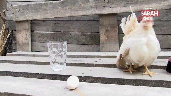Malezya cinsi 300 gramlık tavukların çifti bin TL'ye satılıyor   Video
