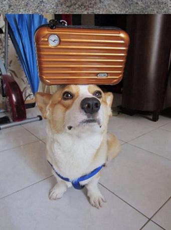Denge ustası köpek corgi