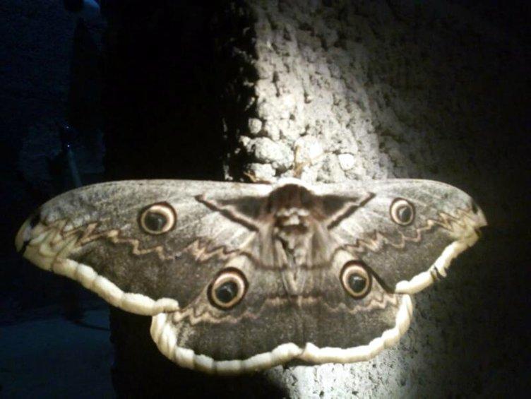 Osmaniye'de görülen 16 santimetrelik tavus kelebeği, şaşkına çevirdi