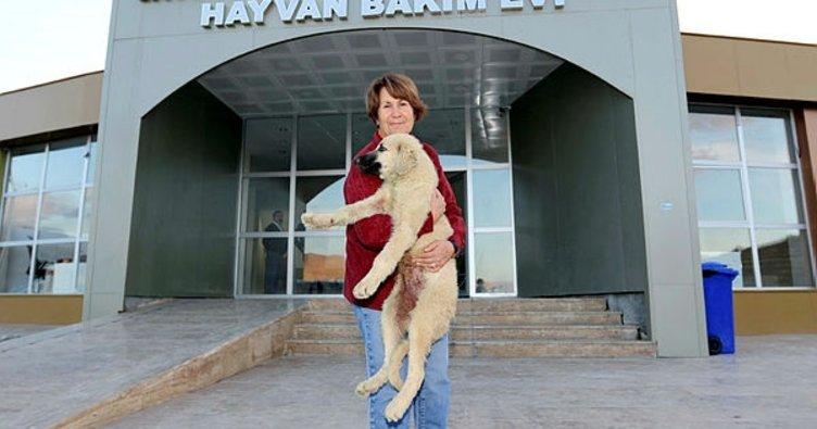 Van'da kulağı kesilen yavru köpeğe, İzmirli iş kadını sahip çıktı
