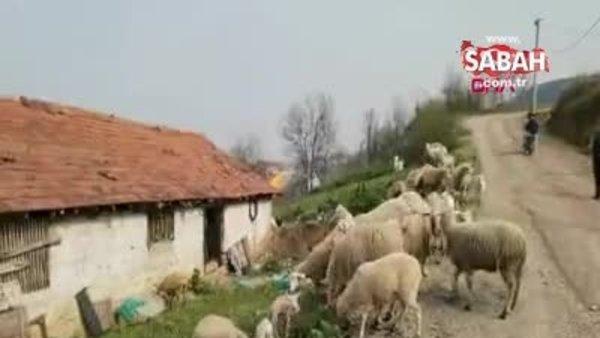 Çoban köpeği, kuzunun 'süt annesi'   Video