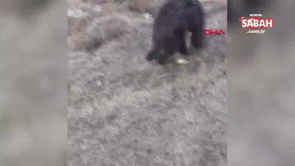 Kars'da yaralı boz ayıyı tavuk eti ile beslemeye çalıştılar | Video