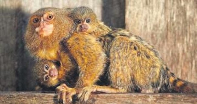 Parkta, ipek tüylü maymun hırsızlığı