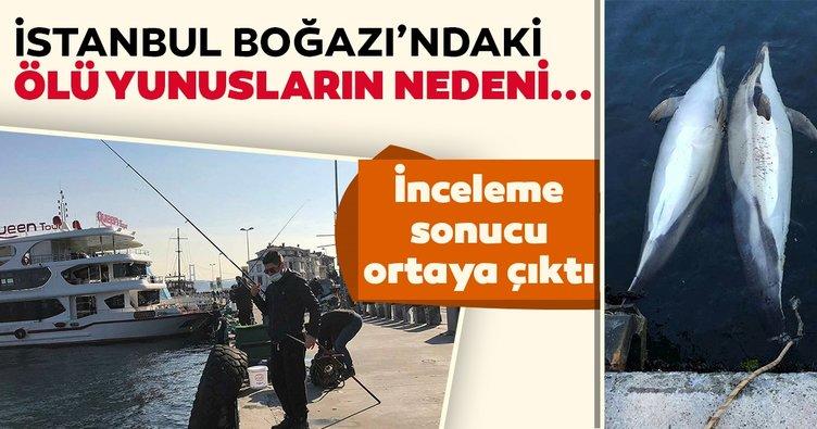 İstanbul Boğazı'ndaki ölü yunusların nedeni ortaya çıktı!