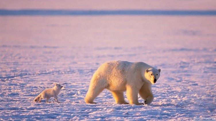 Kutup tilkisiyle ilgili acayip bilgiler
