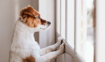 Ev köpeği cinsleri: Evde beslenecek köpek cinsleri ve özellikleri | Apartmanda hangi köpek beslenir?