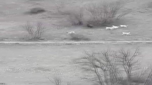 Erzincan'da çoban köpeklerinin yaban domuzuyla ölümcül kavgası kamerada | Video